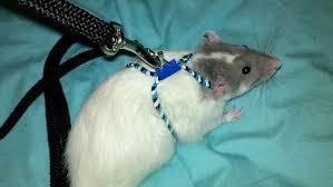 diy rat harness petdiys
