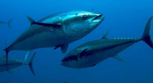 Large Marine Game Fish Species - Top 6   Huk Gear