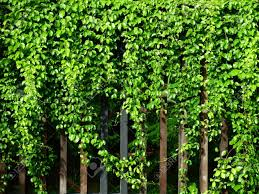 Grow Of Green Ivy Plant On Wood Fence In Garden Stock Photo Picture And Royalty Free Image Image 84961569
