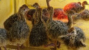 دستگاه جوجه کشی، قفس پرورش بلدرچین و مرغ | فرآوری محصولات شترمرغ