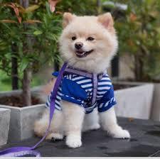 pomeranian puppies adoptapet