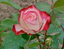 أسماء الورود النادرة موسوعة