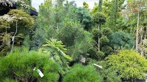 dwarf conifers for landscaping