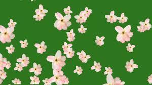 flower fall green screen free hd you