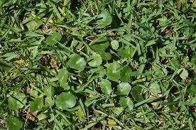 dollarweed home garden information