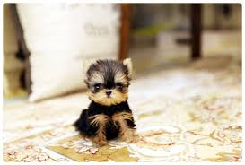 tiny teacup yorkie yorkshire terrier