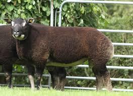 The Badger Face Texel Sheep Society ...