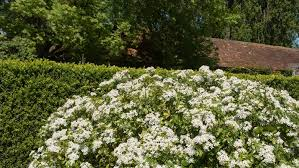 Fast Hedges For Privacy Yates Gardening
