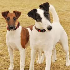 fox terrier smooth puppies