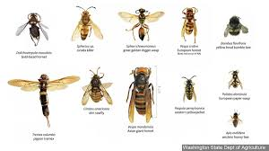 Hornets,' with sting that can kill ...