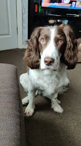 """Carl Haywood on Twitter: """"My big baby Roxy the 10yr Springer, she doesn't  stay still long enough for photos… """""""