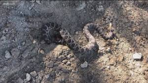 Horse Dies After Being Bitten By Rattlesnake In Jamul Cbs8 Com