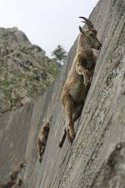 Wall-climbing Mountain Goats | funny jokes-pictures