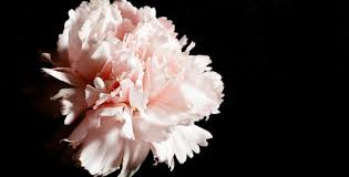 flower wilting time lapse by thatonesummer videohive