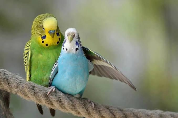 "Image result for love birds"",nari"