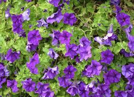 كيفية زراعة أزهار البنفسج في خطوات بالصور روزبيديا