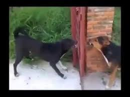 2 Dogs Barking Through The Iron Gate Youtube