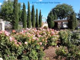 what evergreen trees do well in el paso