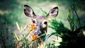 Got A Deer Problem Get A Deer Fence My Decorative