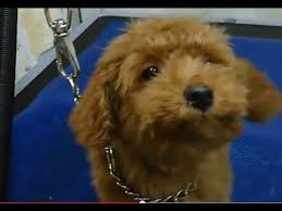 toy poodle puppy s first grooming you
