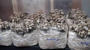 growing mushrooms on sawdust blocks