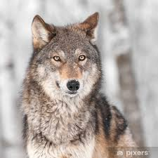 Grey Wolf Canis Lupus With One Ear Back Wall Mural Pixers We Live To Change