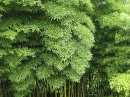 thinning a bamboo grove