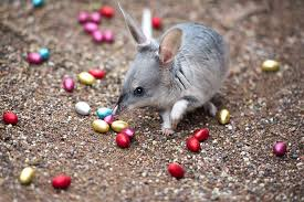 Easter Bilby on show at Australian Reptile Park