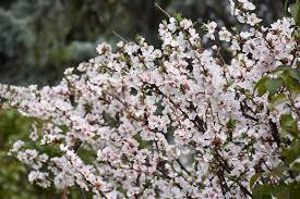 nanking cherry prunus tomentosa in