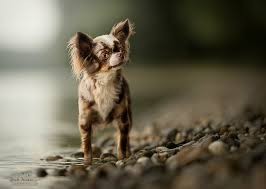 hd wallpaper dogs chihuahua
