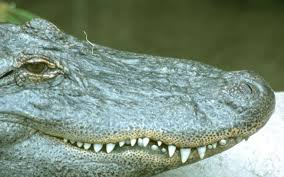 Caught On Camera Alligator Climbs Florida Fence Sunny 95