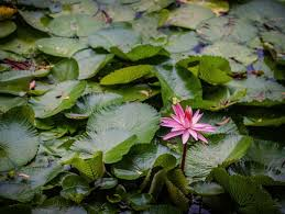 lotus flower quotes to inspire growth new beginnings