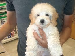 toy poodle poodle puppy