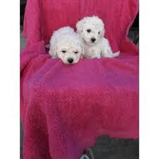 2 beautiful male maltese poodle mix
