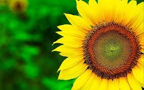 free sunflower backgrounds at landscape