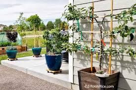 patio orchard with dwarf fruit trees