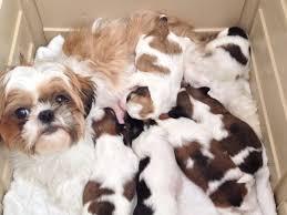 shih tzu puppies near me