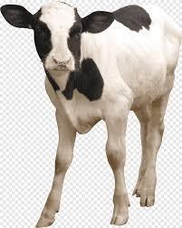هولشتاين الماشية الفريزيان الماشية الألبان الرعي والحيوانات مضحك