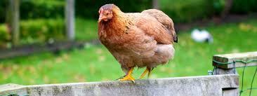 Chicken Runs Insteading