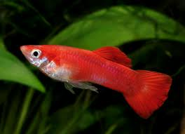 Livebearers Types and Information | All Aquarium Info - Where to ...