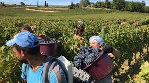 Bordeaux 2019 weather and harvest report | JancisRobinson.com