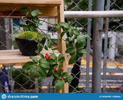 Bonsai Plant On A Wooden Shelf Against A Metal Fence Stock Image Image Of Beauty Idealized 162829495