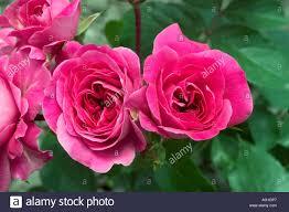 Rose Sonia Love Banque d'image et photos - Alamy