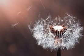 di balik keindahannya ini makna bunga dandelion yang menyentuh hati