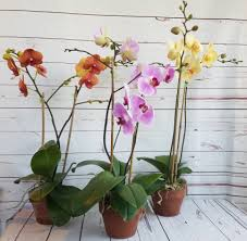 orted phalaenopsis orchids in