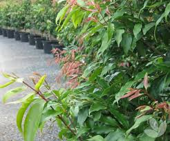 Reclaiming Privacy With Screens Hedges Collections Speciality Trees