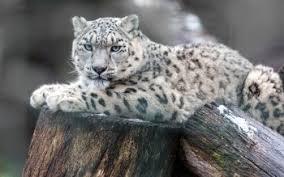 40 4k ultra hd snow leopard wallpapers