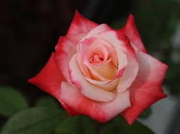 اجمل وردة في العالم الورد وما اجمل الورود هل تعلم