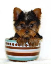 yorkshire terrier a teacup yorkie