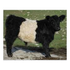 belted galloway gifts on zazzle nz